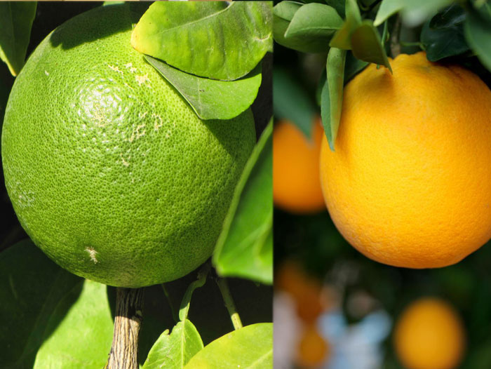 Oranges citrus good for cold
