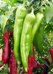 chili pepper is a good source of vitamin c