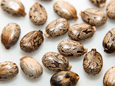 castor seeds for birth control Castor seed as contraceptive