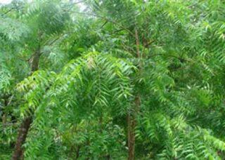 Neem Tree